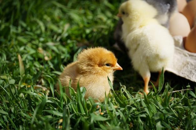 Galinhas correndo na grama verde do prado
