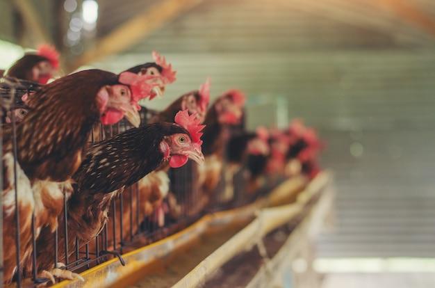 Galinhas de ovos, galinhas em gaiolas de gado fazenda industrial