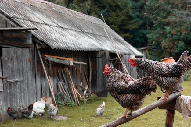 Galinhas domesticadas na aldeia no verão.