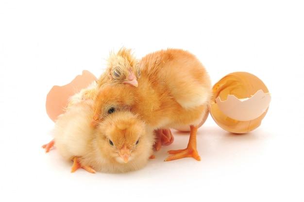 Galinhas e uma casca de ovos