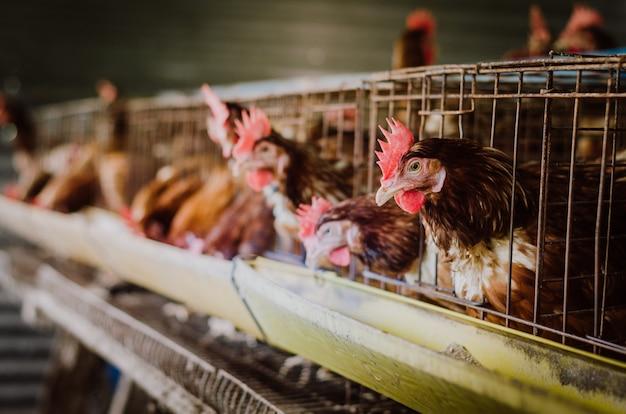 Galinhas em gaiolas de pecuária fazenda industrial