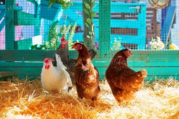 Galinhas em um galinheiro de aves de capoeira com palha