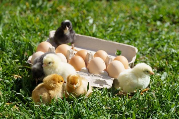 Galinhas em uma bandeja com ovos na grama verde