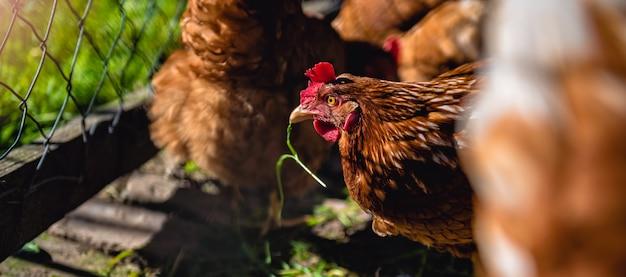 Galinhas na exploração avícola