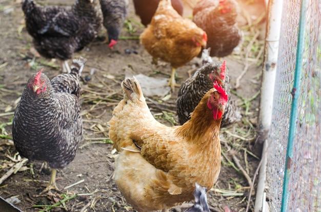 Galinhas na fazenda, agricultura, vila