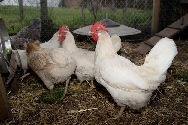 Galinhas no galinheiro ou no galinheiro