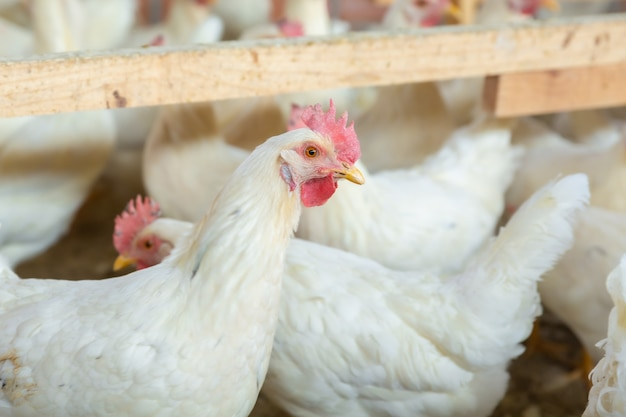Galinhas no galinheiro