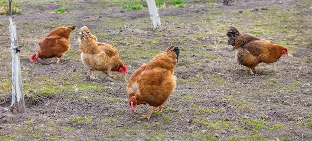 Galinhas no jardim da fazenda no outono. galinhas reprodutoras
