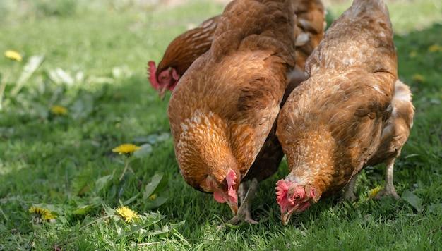 Galinhas vermelhas caminham no quintal da fazenda e comem grama