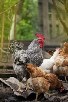 Galo ao ar livre e galinhas no jardim