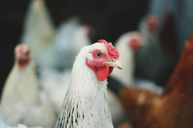 Galo bonito no galinheiro. pássaro doméstico. fazenda