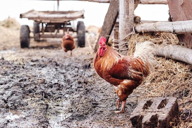 Galo colorido forrageando comida com fundo de bio fazenda