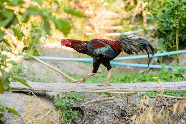Galo colorido ou lutando galo na fazenda