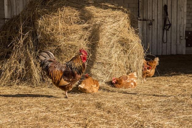 Galo com galinhas andando sobre um feno na zona rural. bando de galinhas pastando no feno. galinha pastando no campo. galinha de welsummer caminhando com várias outras galinhas.