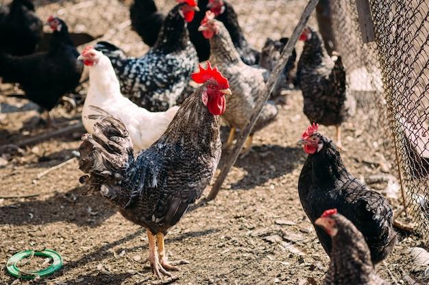 Galo e galinhas em uma fazenda no início da primavera em um dia ensolarado
