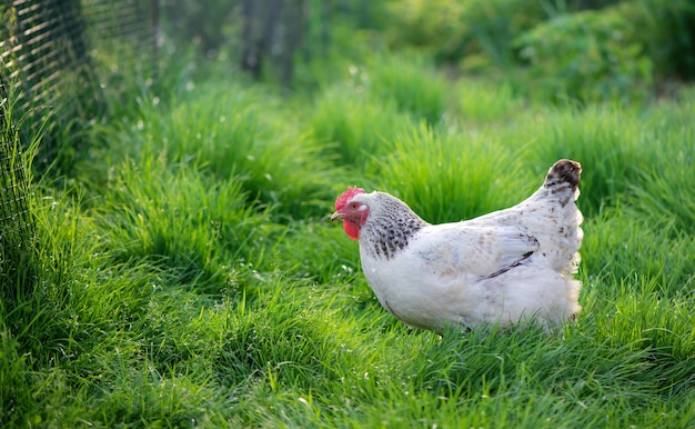 Galo e galinhas. galo e galinhas ao ar livre.