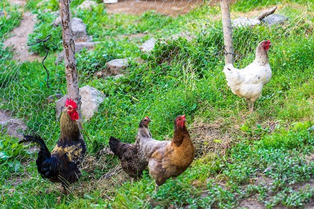 Galo e galinhas. galo e galinhas caipiras