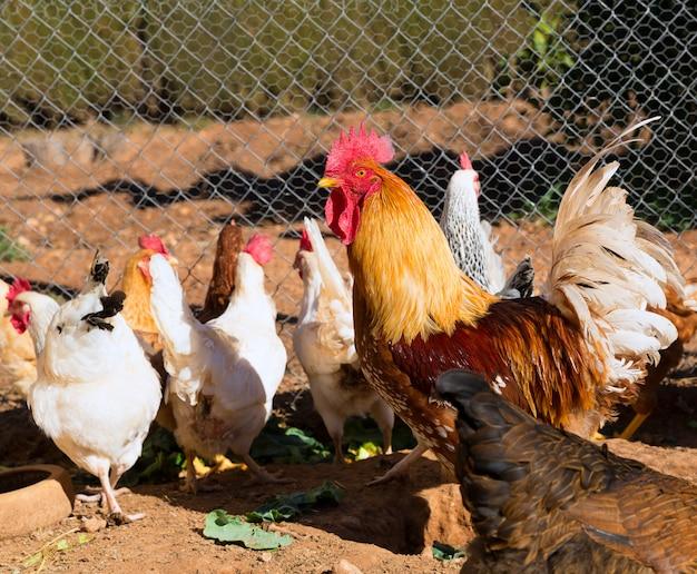 Galo e galinhas na casa de aves de capoeira