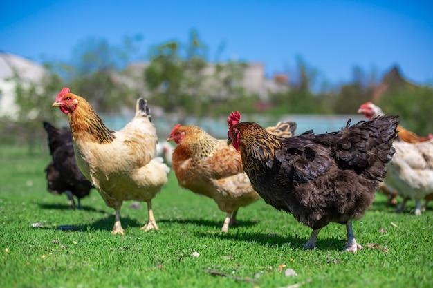 Galo e galinhas pastam na grama verde. gado na aldeia