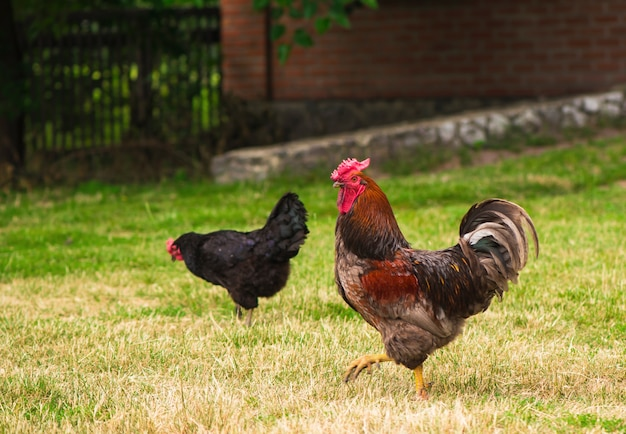 Galo e galinhas pastando na grama