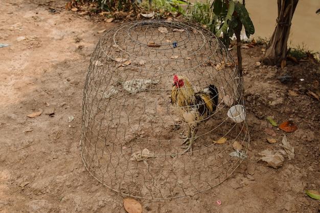 Galo na gaiola na vila do vietnã