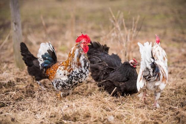 Galos e galinhas andando pelo galinheiro