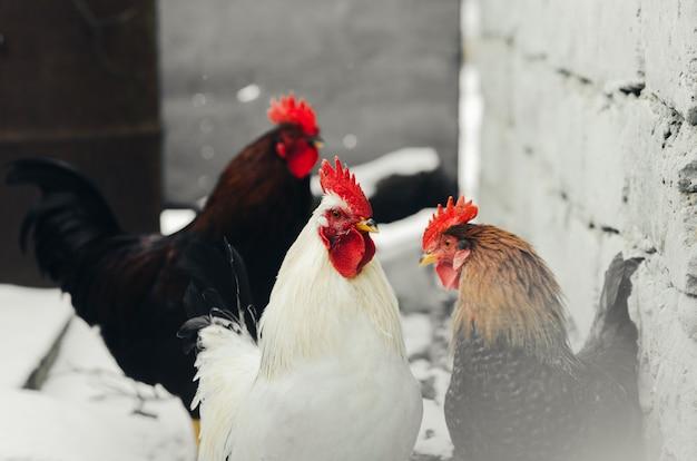 Galos na aldeia com galinhas em seu ambiente, símbolo do ano de 2017