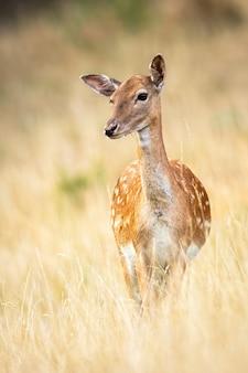 Gamo bonito observando em um pasto com grama seca no outono