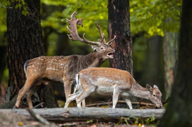 Gamo rugindo com a fêmea cheirando na floresta na estação de acasalamento