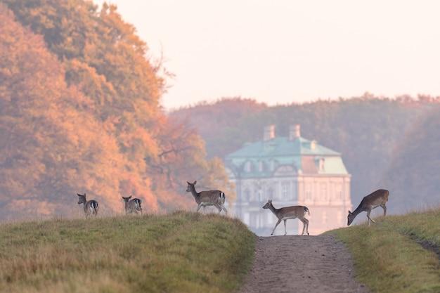 Gamos, dama dama, fêmeas e jovens corças que cruzam a estrada de terra em dyrehave, dinamarca