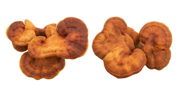 Ganoderma lucidum fresco ou reishi, cogumelo lingzhi isolado no fundo com o caminho de recorte. vista superior, plana leiga.