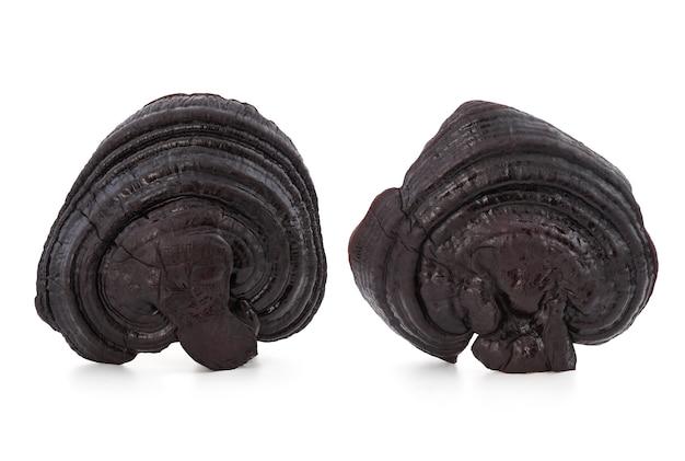 Ganoderma lucidum preto selvagem ou reishi, cogumelo lingzhi isolado no fundo branco com traçado de recorte.
