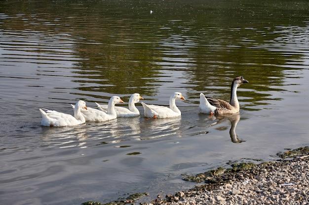 Ganso à beira do rio. bando de gansos no rio