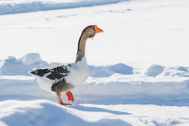 Ganso andando na neve