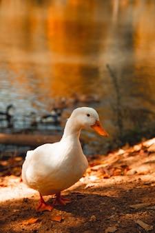 Ganso branco em pé na margem do lago com olhos confusos
