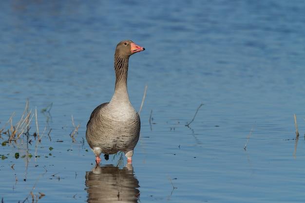 Ganso-cinzento ou anser anser na água rasa, ao ar livre durante o dia
