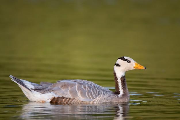 Ganso com cabeça de barra, anser indicus, nada no lago