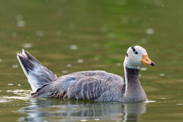 Ganso de cabeça de barra, anser indicus, único pássaro nada no lago