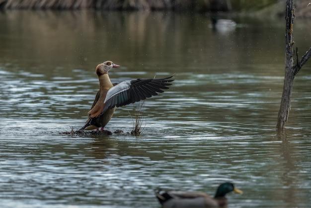 Ganso do nilo batendo as asas no meio de um lago