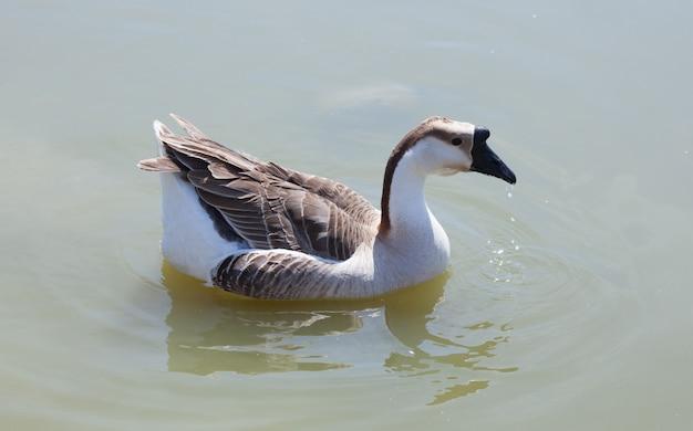 Ganso nadando no lago