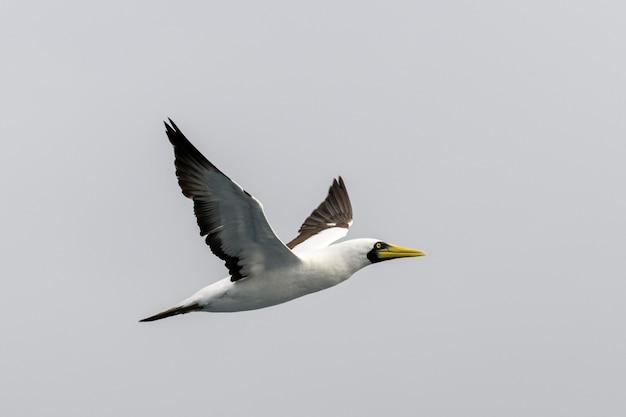 Ganso-voador - grande ave marinha com plumagem principalmente branca
