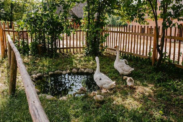 Gansos brancos em uma cerca de madeira na aldeia