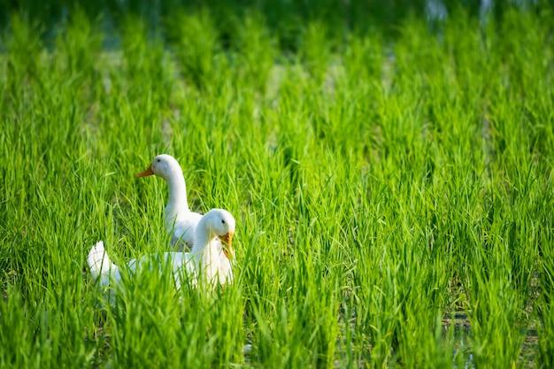 Gansos brancos na fazenda de arroz