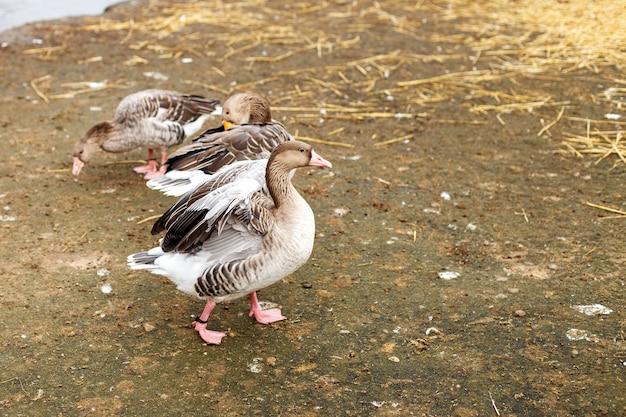 Gansos caminhando perto do lago, retrato de um pato