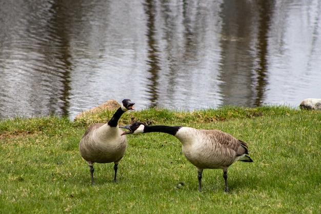 Gansos cinzentos do canadá caminhando à beira do lago durante o dia