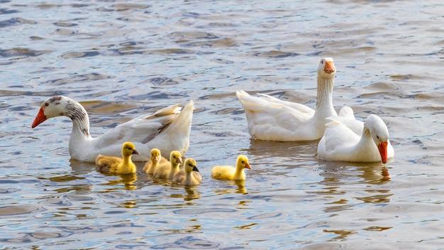 Gansos com pequenos gansinhos amarelos no rio