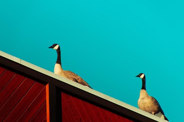 Gansos de pé em cima de uma superfície de madeira com um fundo azul claro