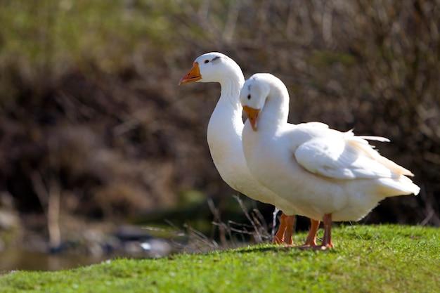 Gansos em pé juntos no prado gramado verde