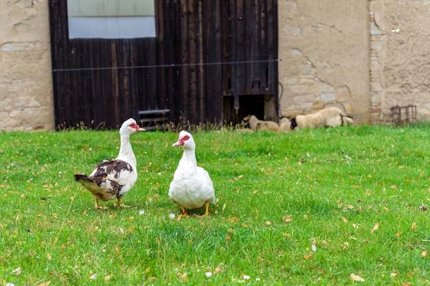 Gansos em uma pastagem em uma fazenda na aldeia