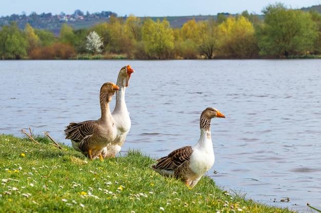 Gansos na margem do rio na primavera. criação de gansos